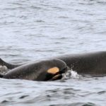 Lessons From a Grieving Mother Whale